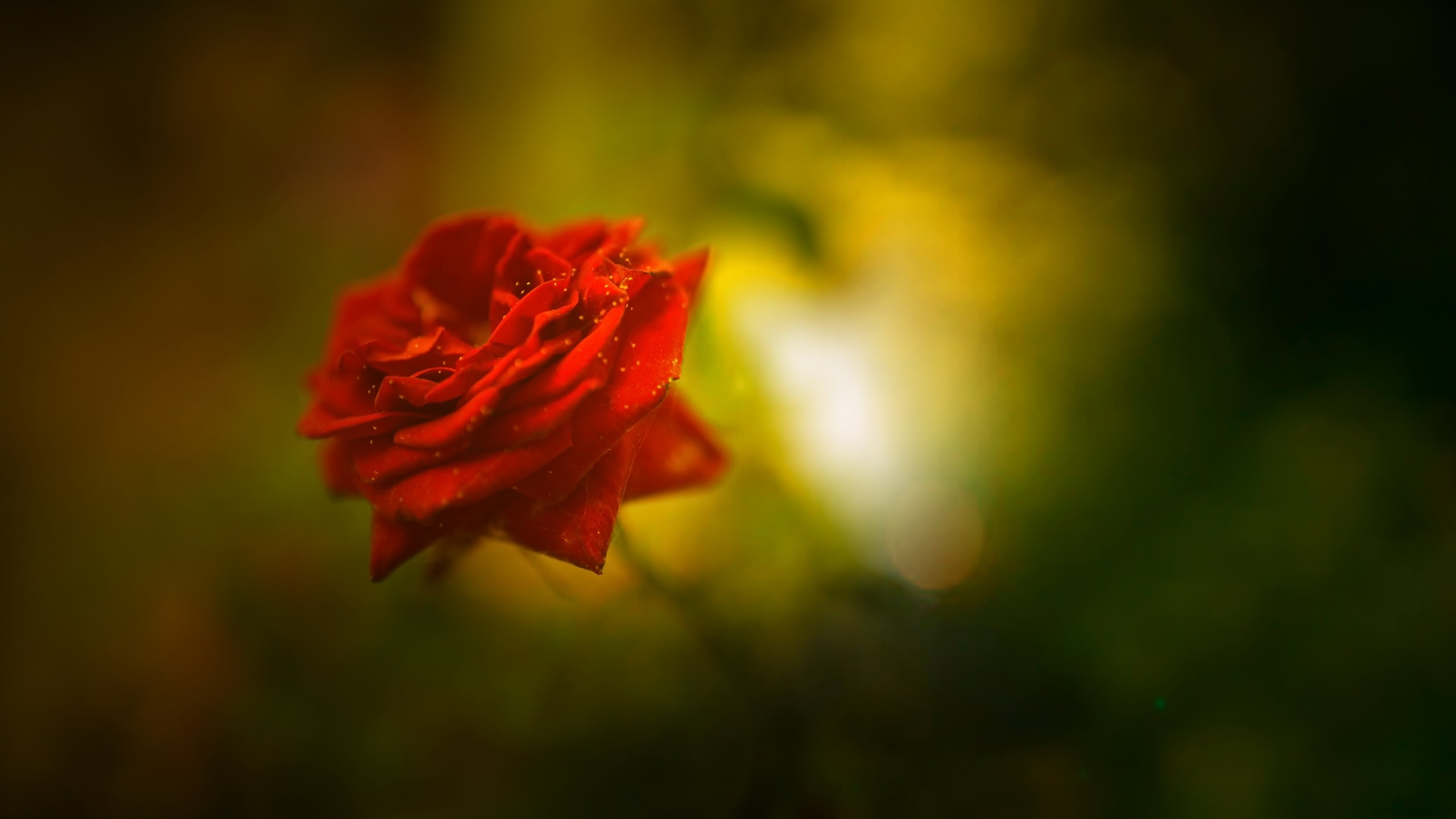 Beautiful Rose 4K Wallpapers HD Wallpapers ID 18482