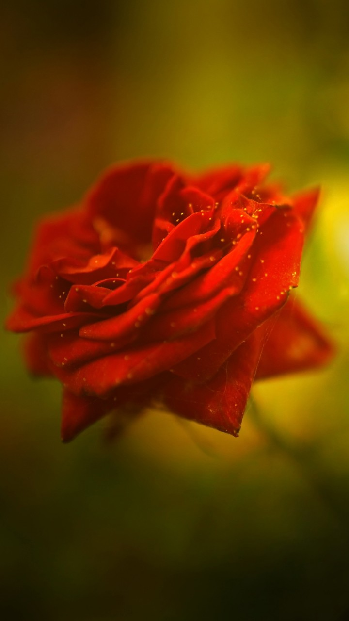 Latest Wallpaper For Iphone 6 Beautiful Rose 4k Wallpapers Hd Wallpapers Id 18482