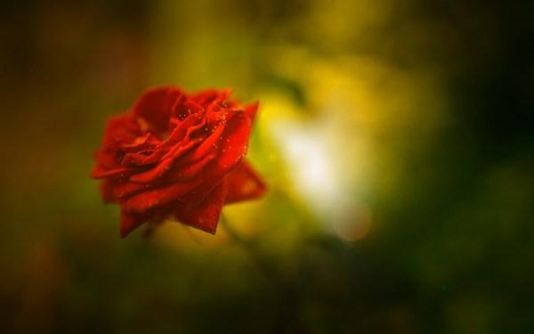 Beautiful Rose 4K Wallpapers HD Wallpapers ID 18482