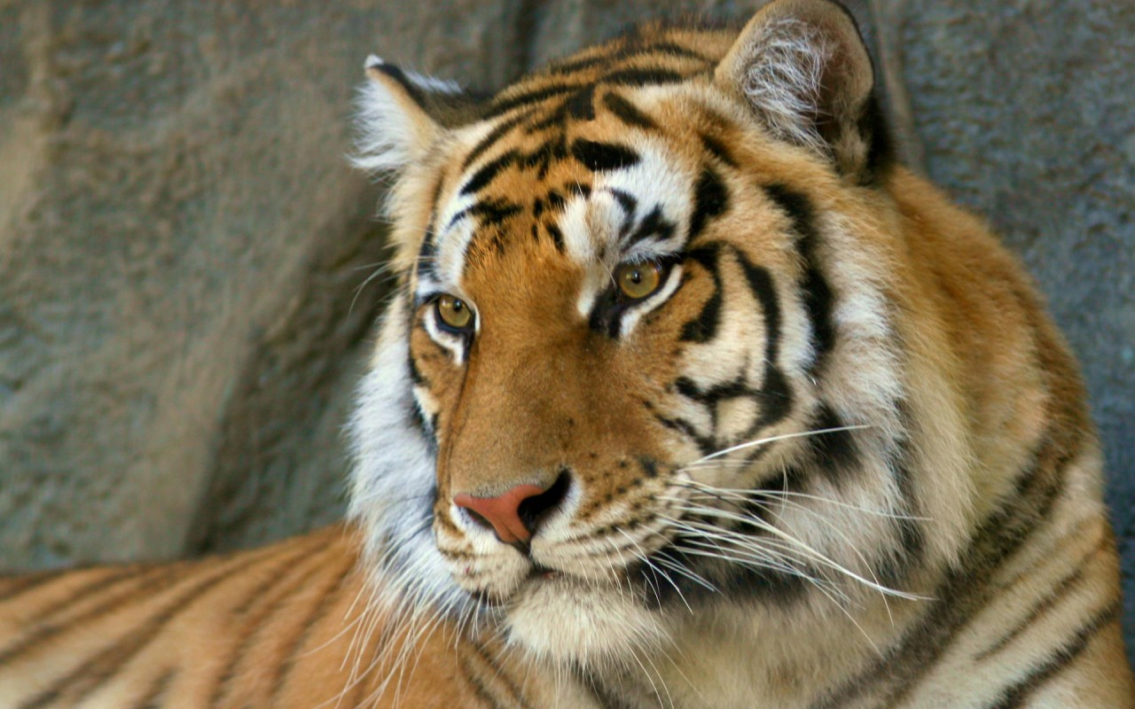 Latest Full Hd Wallpapers 1080p Bengal Tiger Wallpapers Hd Wallpapers Id 1536