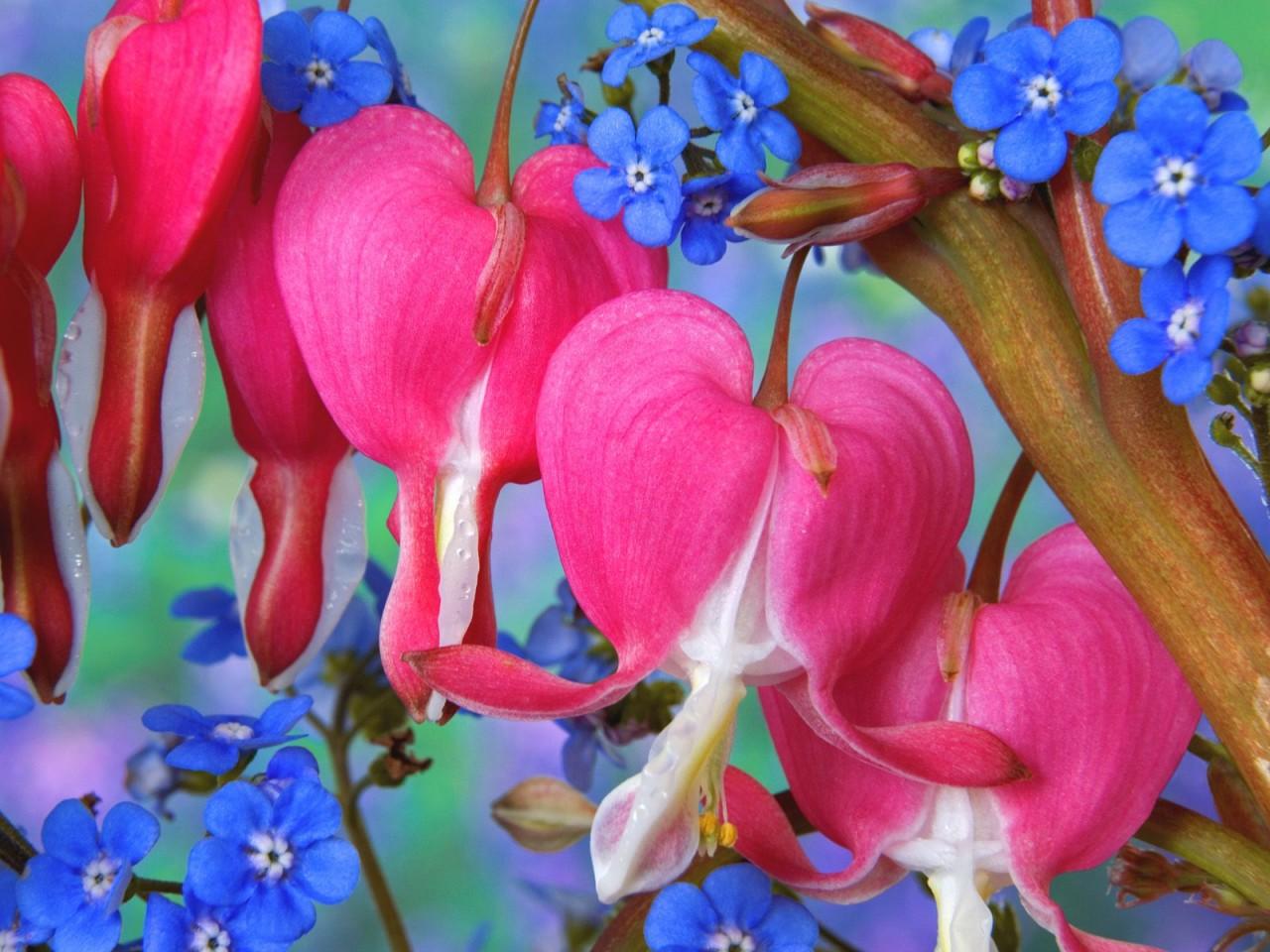 Cute Wallpapers Of Roses Bleeding Heart Flowers Wallpapers Hd Wallpapers Id 5760