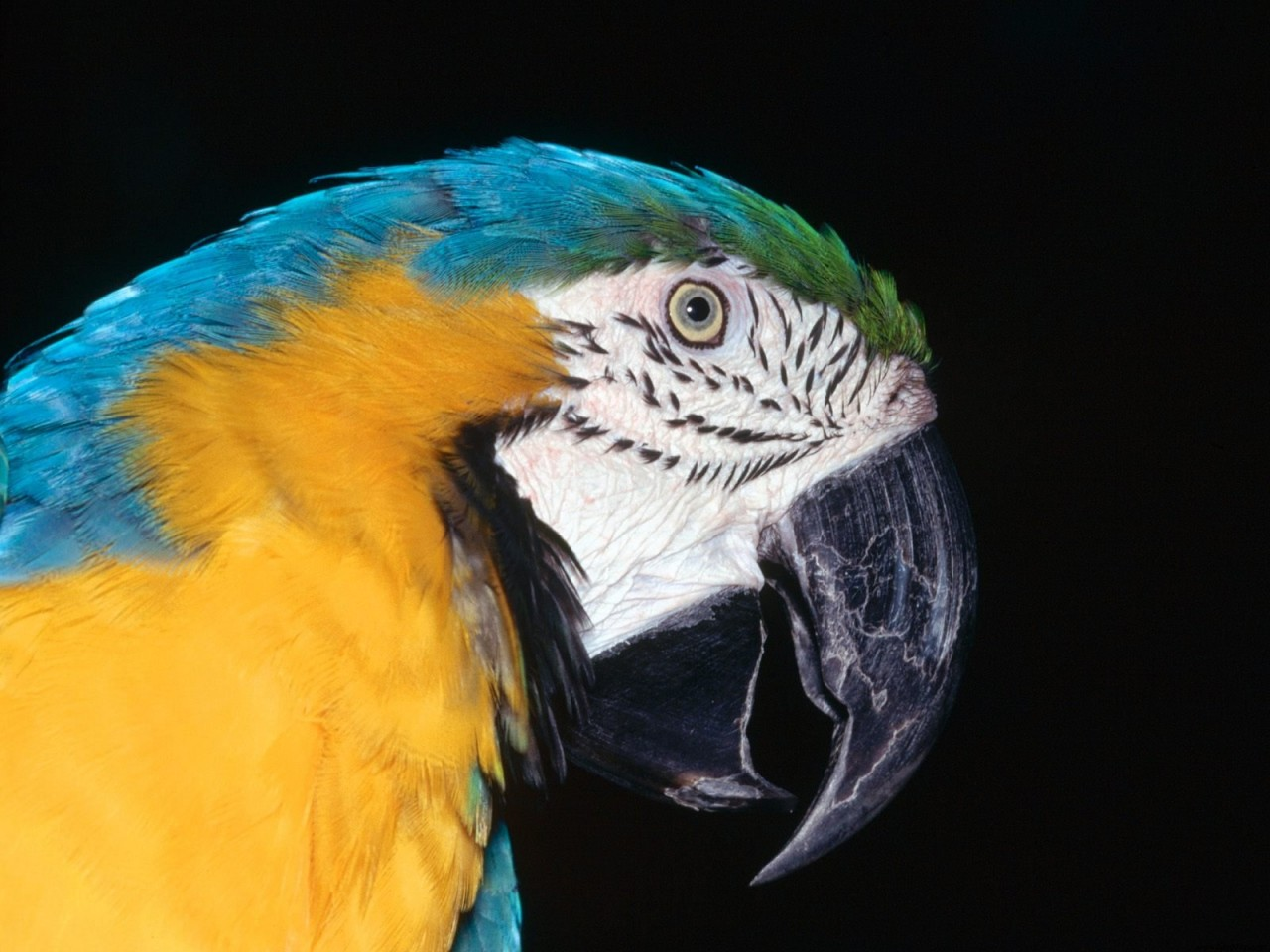 Cute Face Wallpaper Desktop Blue And Yellow Macaw Wallpapers Hd Wallpapers Id 4874