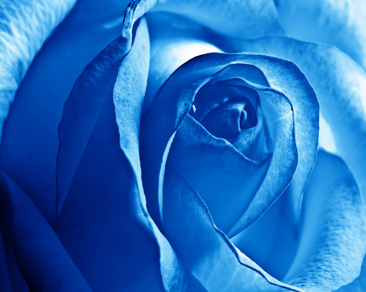 3d Cute Wallpaper Free Download Blue Rose Wallpapers Hd Wallpapers Id 11663