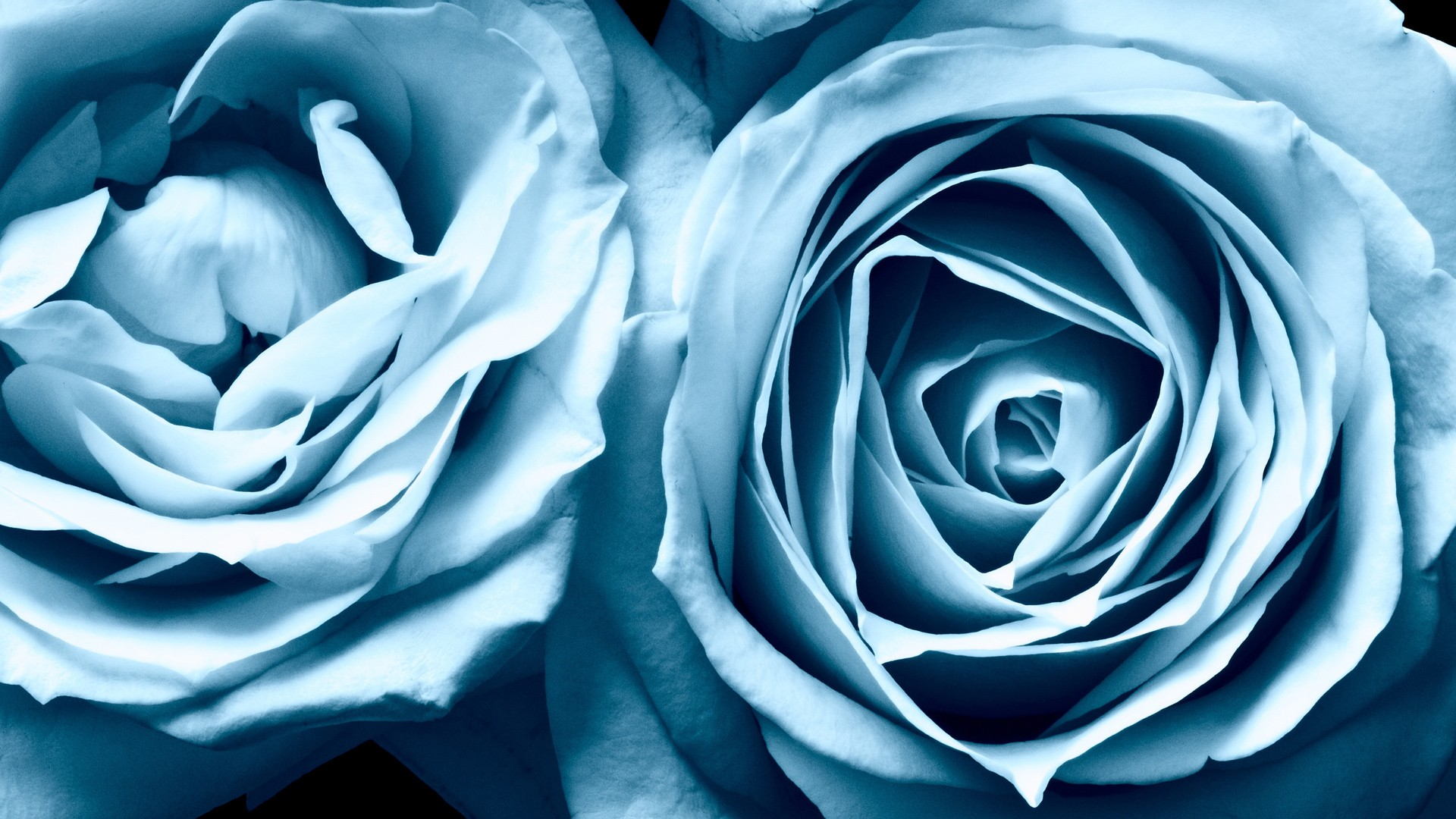 Blue Roses Widescreen Wallpapers  HD Wallpapers  ID 6454