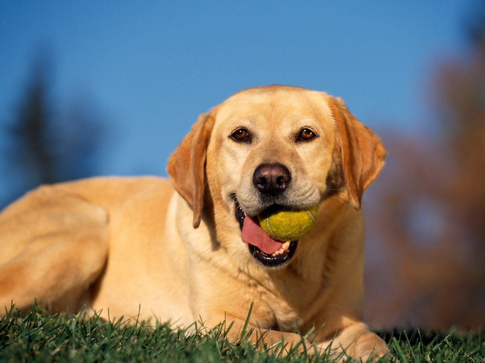 Cute Labrador Puppies Wallpapers Break Time Yellow Labrador Wallpapers Hd Wallpapers