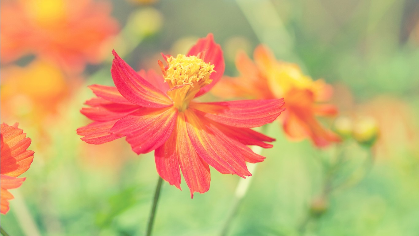 Fall Wallpaper Ipad Cosmos Autumn Flower Wallpapers Hd Wallpapers Id 14702