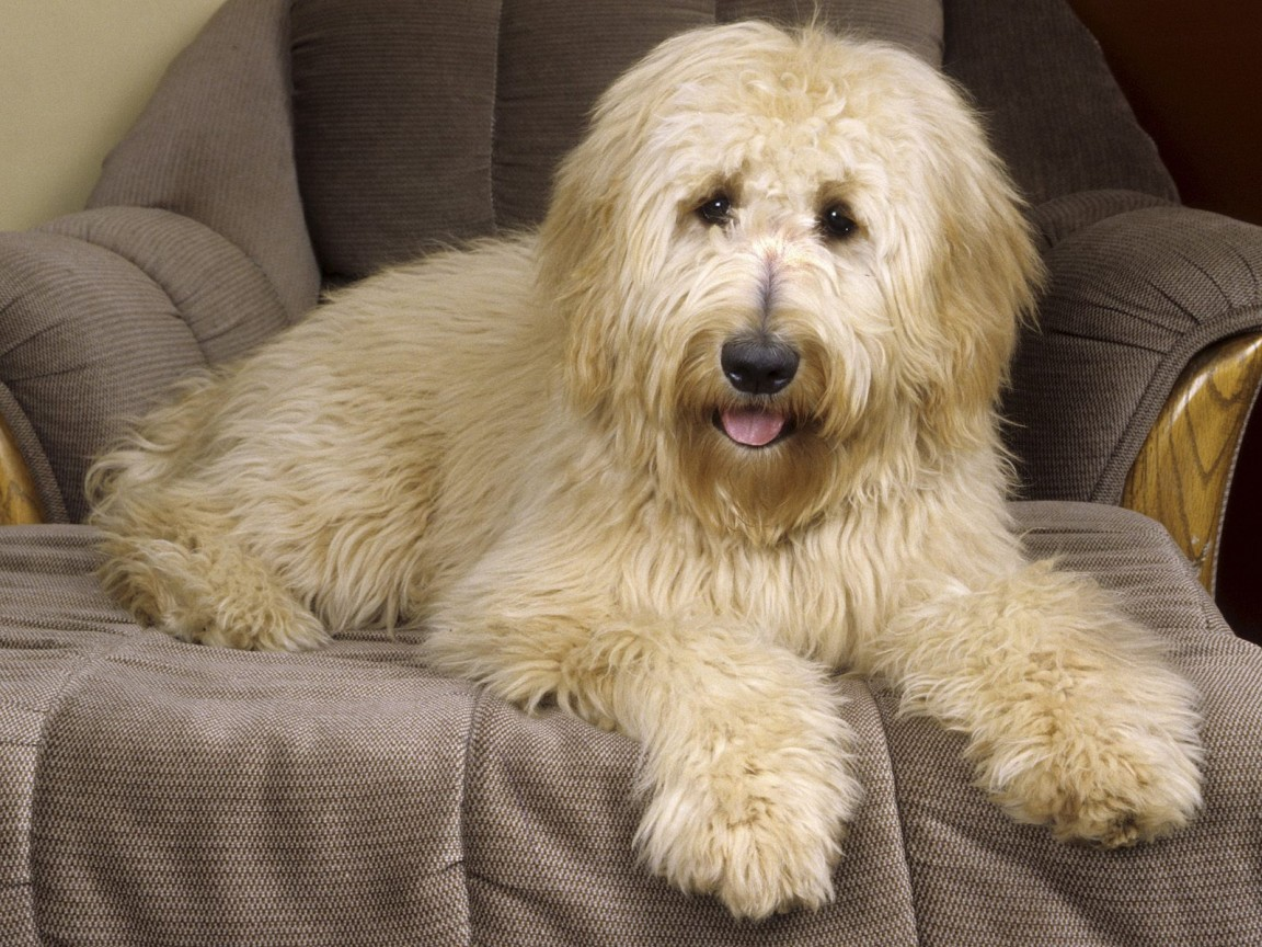 Cute Doodle Wallpaper Hd Goldendoodle Wallpapers Hd Wallpapers Id 4870