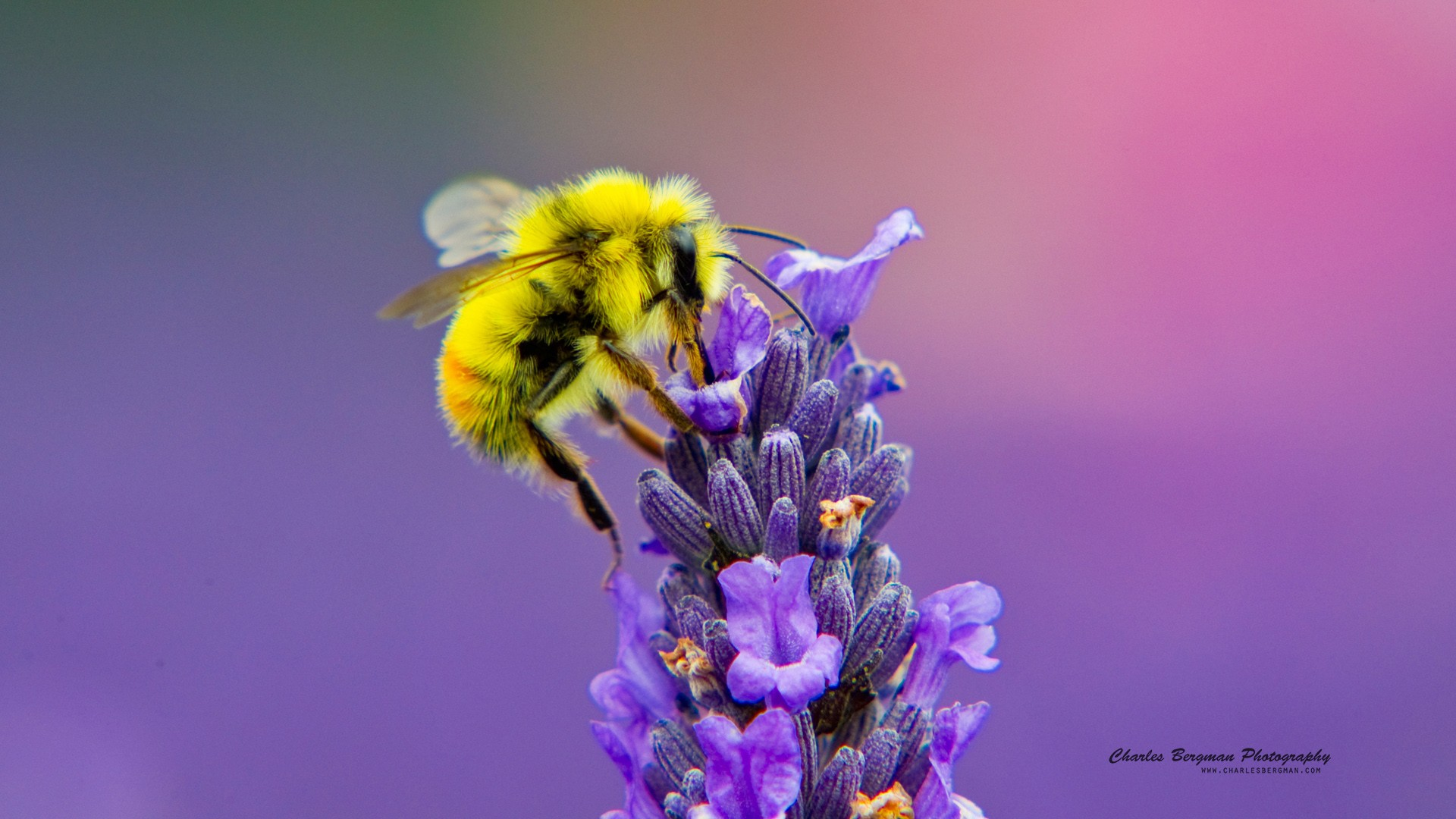 Cute Bumble Bee Wallpaper Honey Bee Lavendar Nectar Wallpapers Hd Wallpapers Id