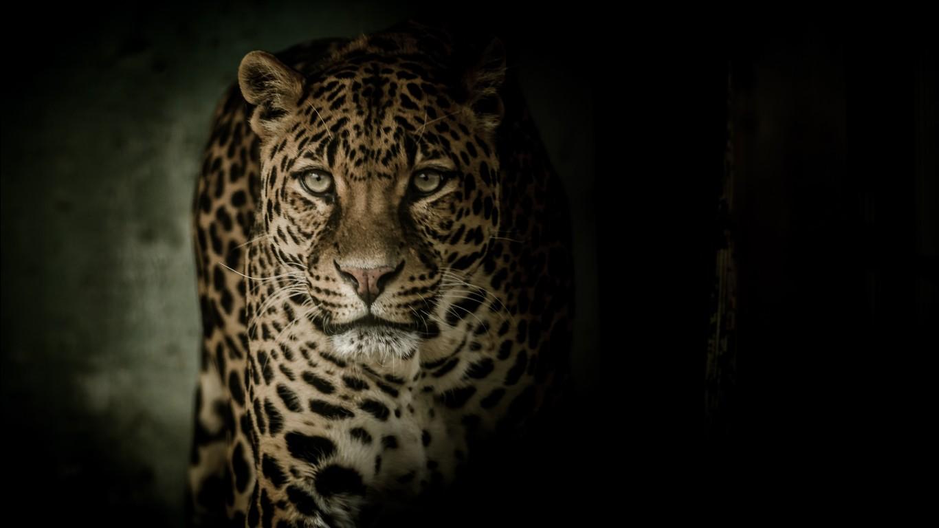 Leopard 4K Wallpapers  HD Wallpapers  ID 23092