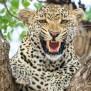 Leopard Hd Wallpapers Hd Wallpapers Id 21023