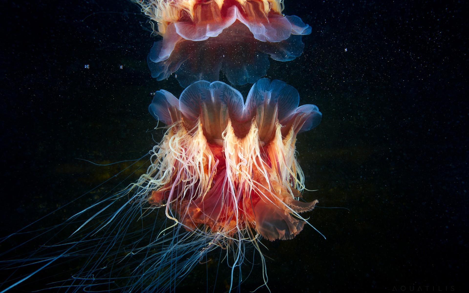 Gambar Wallpaper Cute Hd Lions Mane Jellyfish Wallpapers Hd Wallpapers Id 20320