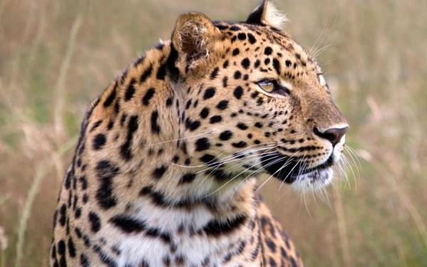 Male Amur Leopard Wildlife Heritage Uk Wallpapers Hd