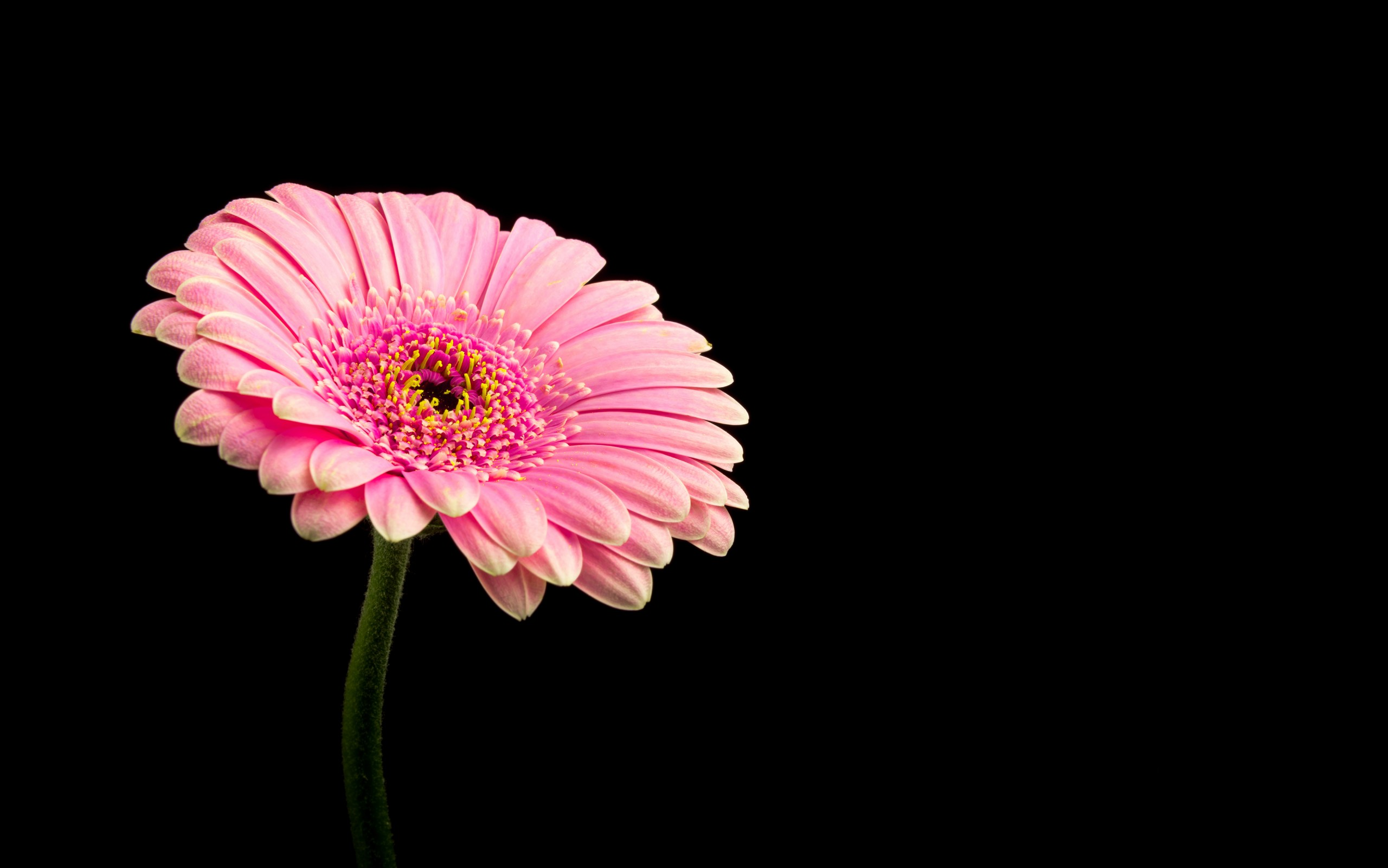 Pink Daisy Flower 4K Wallpapers  HD Wallpapers  ID 21246