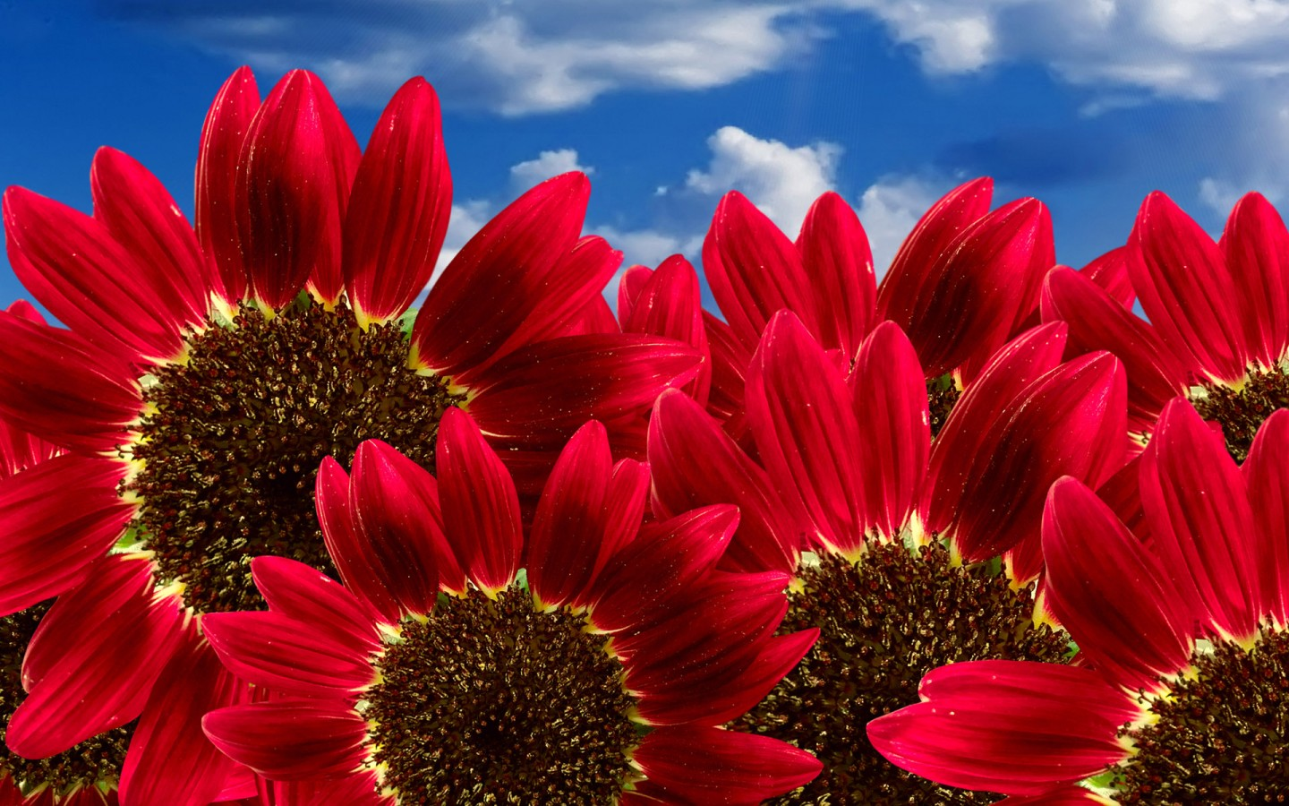 Fall Desktop Wallpaper With Sunflowers Pure Red Sunflowers Wallpapers Hd Wallpapers Id 9882