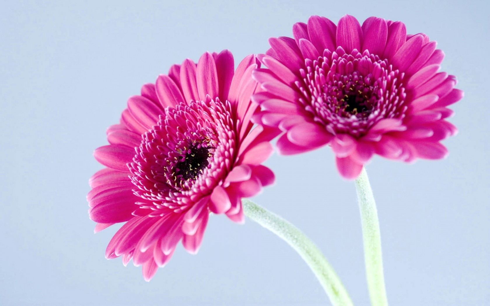 Cute Pink Android Wallpapers Purple Gerbera Daisies Wallpapers Hd Wallpapers Id 9881