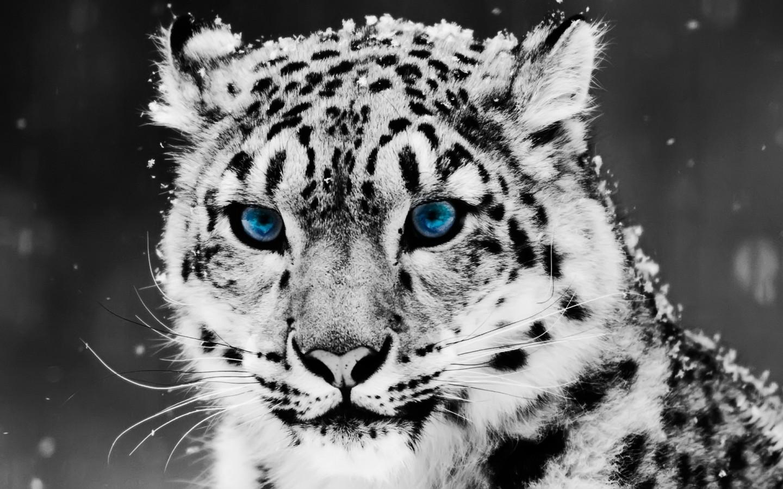 Wild Tiger Hd Wallpaper Snow Blue Eye Leopard Wallpapers Hd Wallpapers Id 5025