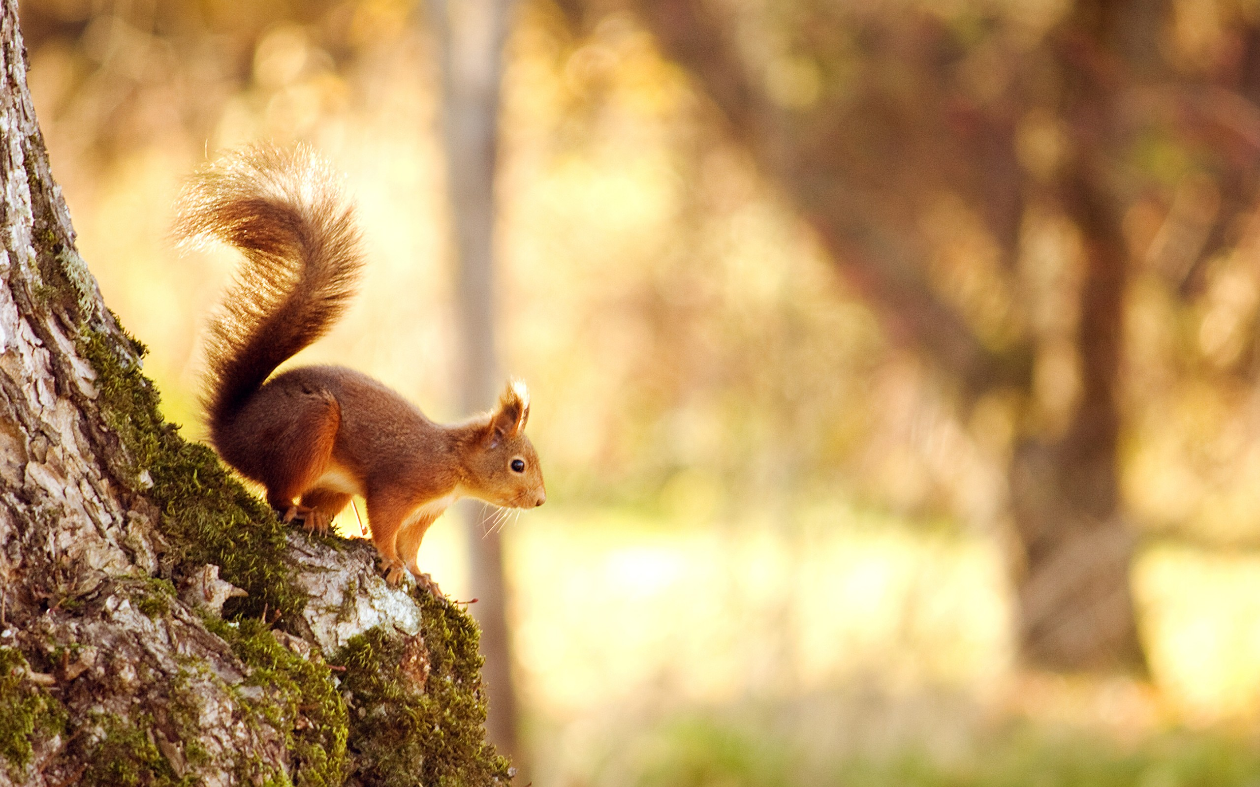 Windows 10 Wallpaper Hd Free Download Squirrel Wallpapers Hd Wallpapers Id 12329