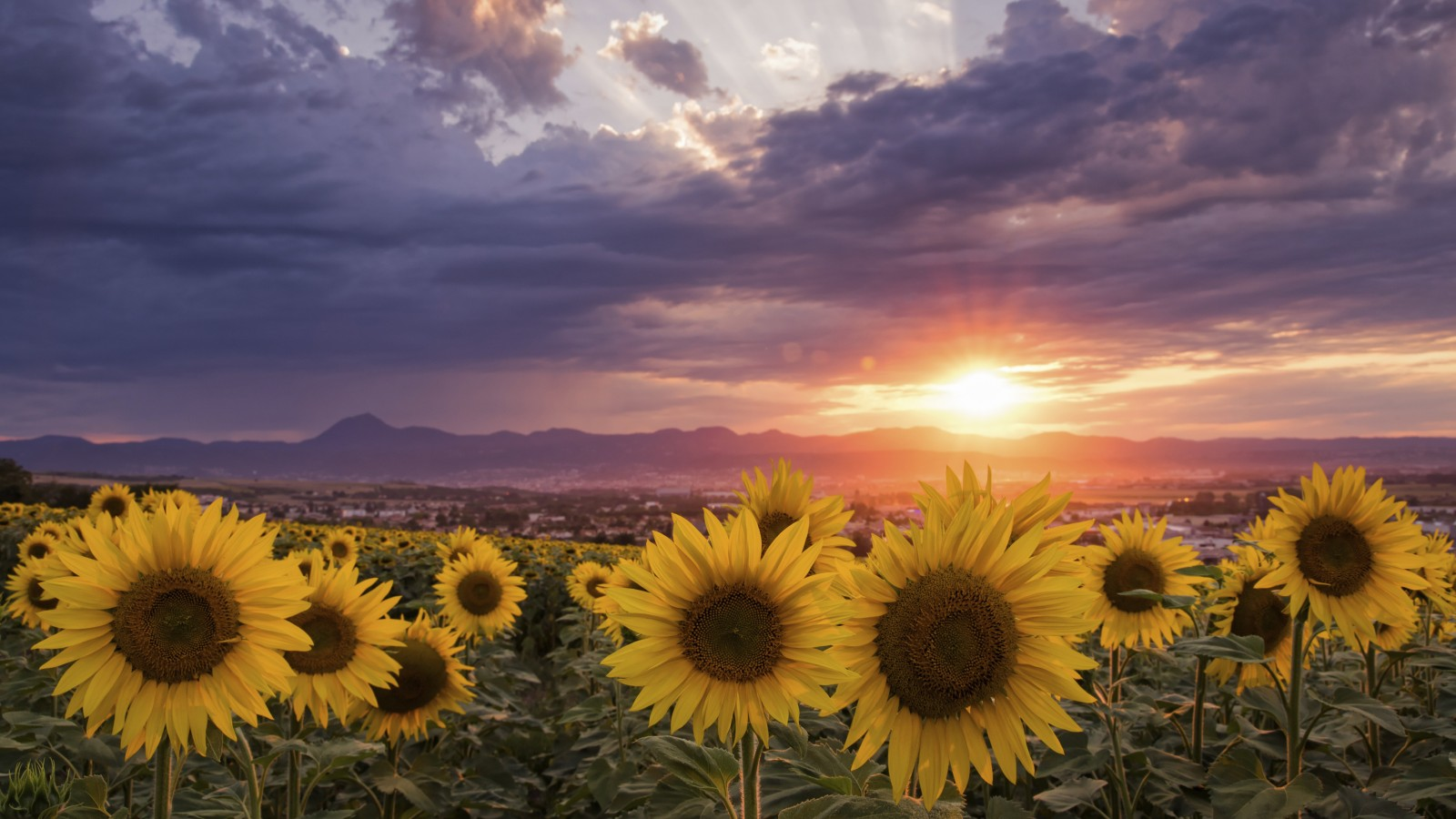 Check out some great models from samsung, toshiba and lg. Sunflowers During Sunrise 4K HD Flowers Wallpapers | HD