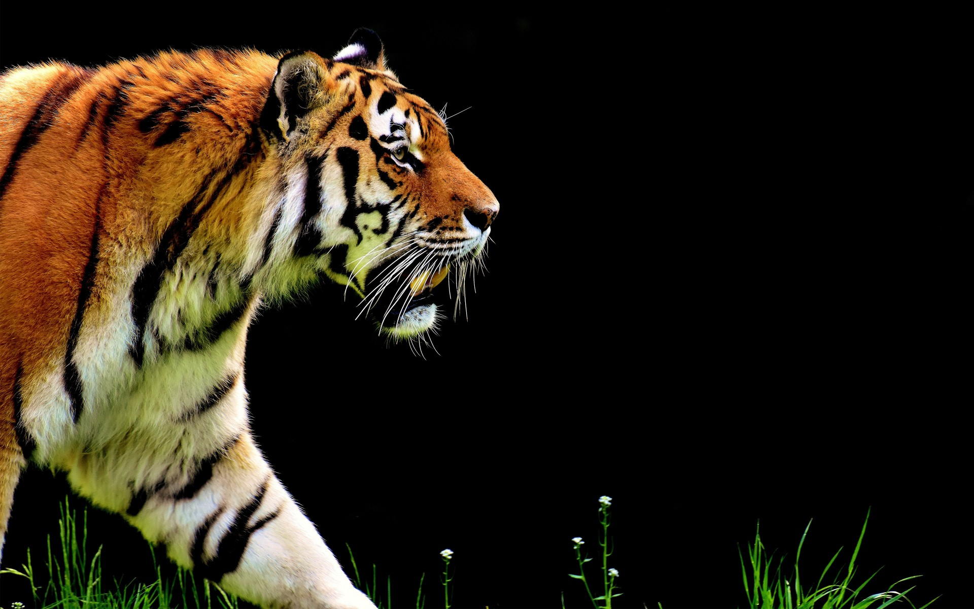 Download 3d Video Wallpaper For Pc The Tiger 5k Wallpapers Hd Wallpapers Id 20980