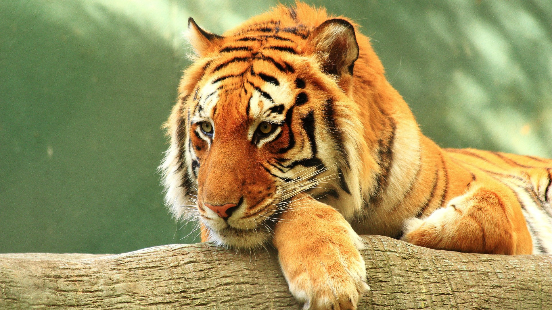 Iphone 5s Wallpapers Full Hd Tiger Close Up 4k Wallpapers Hd Wallpapers Id 20894