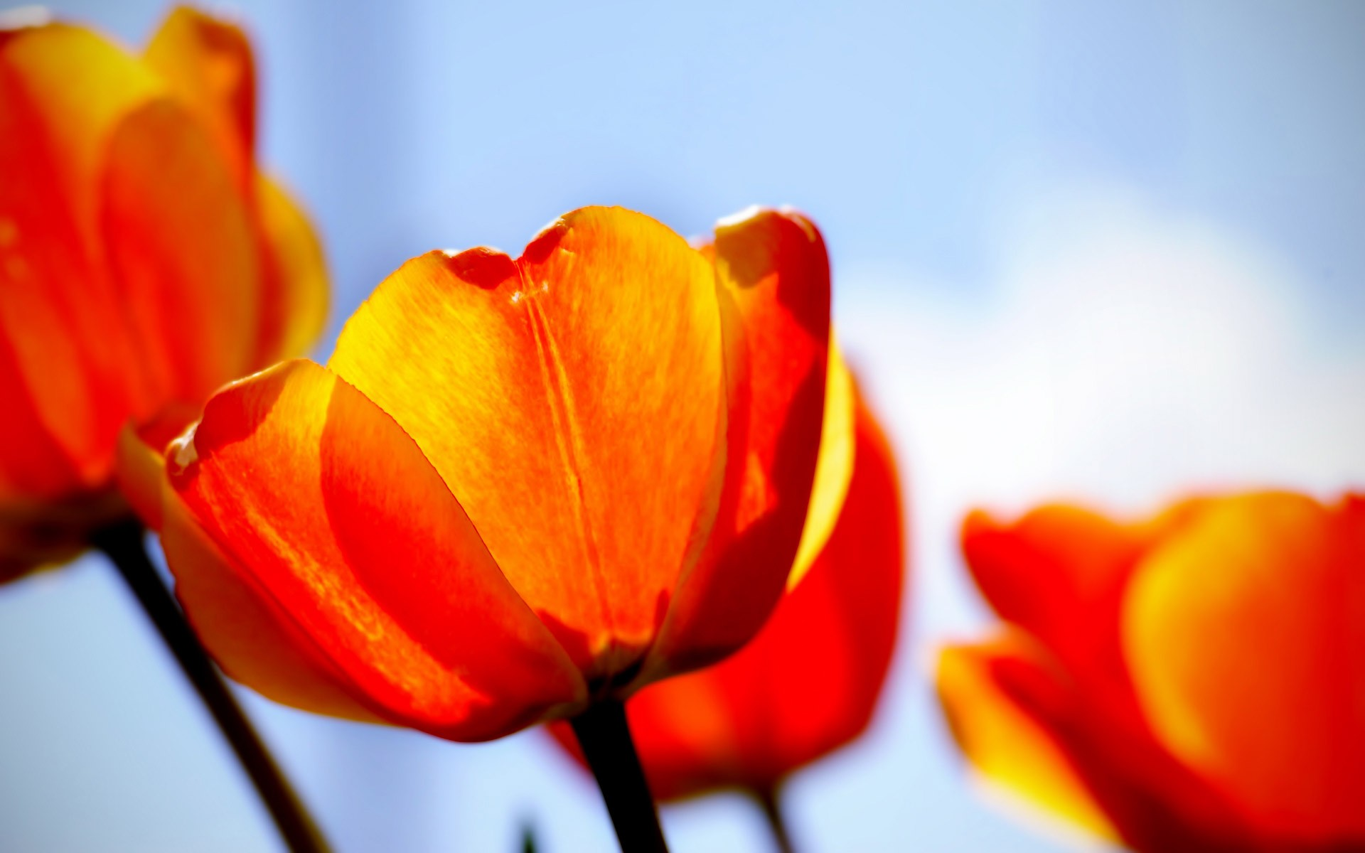 Free Cute Wallpaper For Iphone 4 Tulips Wallpapers Hd Wallpapers Id 6109