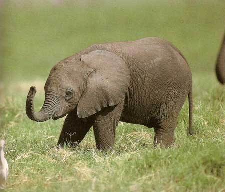 Image result for small elephant