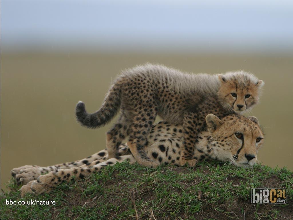 Cute Baby Cheetah Cubs Wallpaper Baby Cheetah Wallpapers Hd Wallpapers Pulse