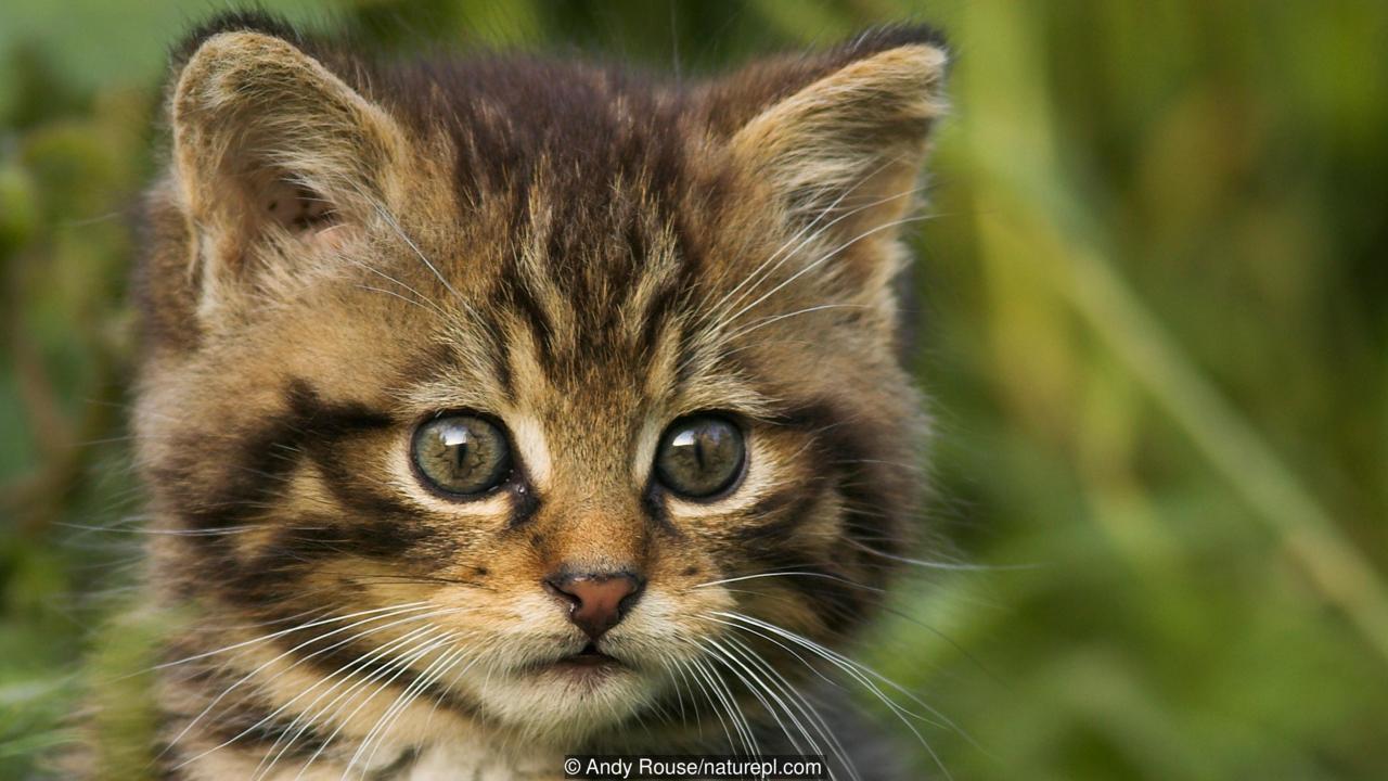 Wild Cat Photos Grey Eyes Wallpaper 25432
