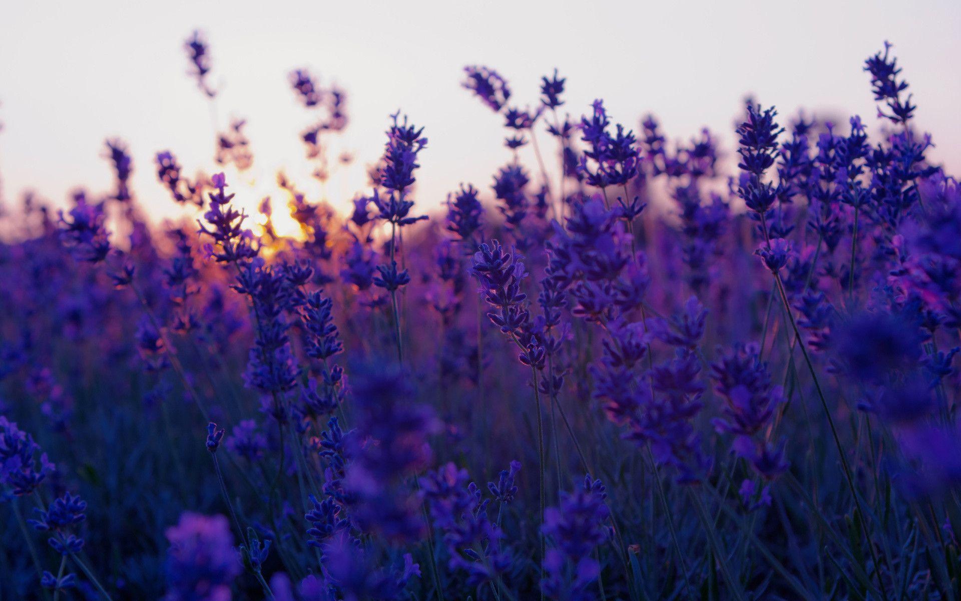 Mehndi Wallpaper Hd Lavender Flower Wallpaper Hd Wallpapers Pulse
