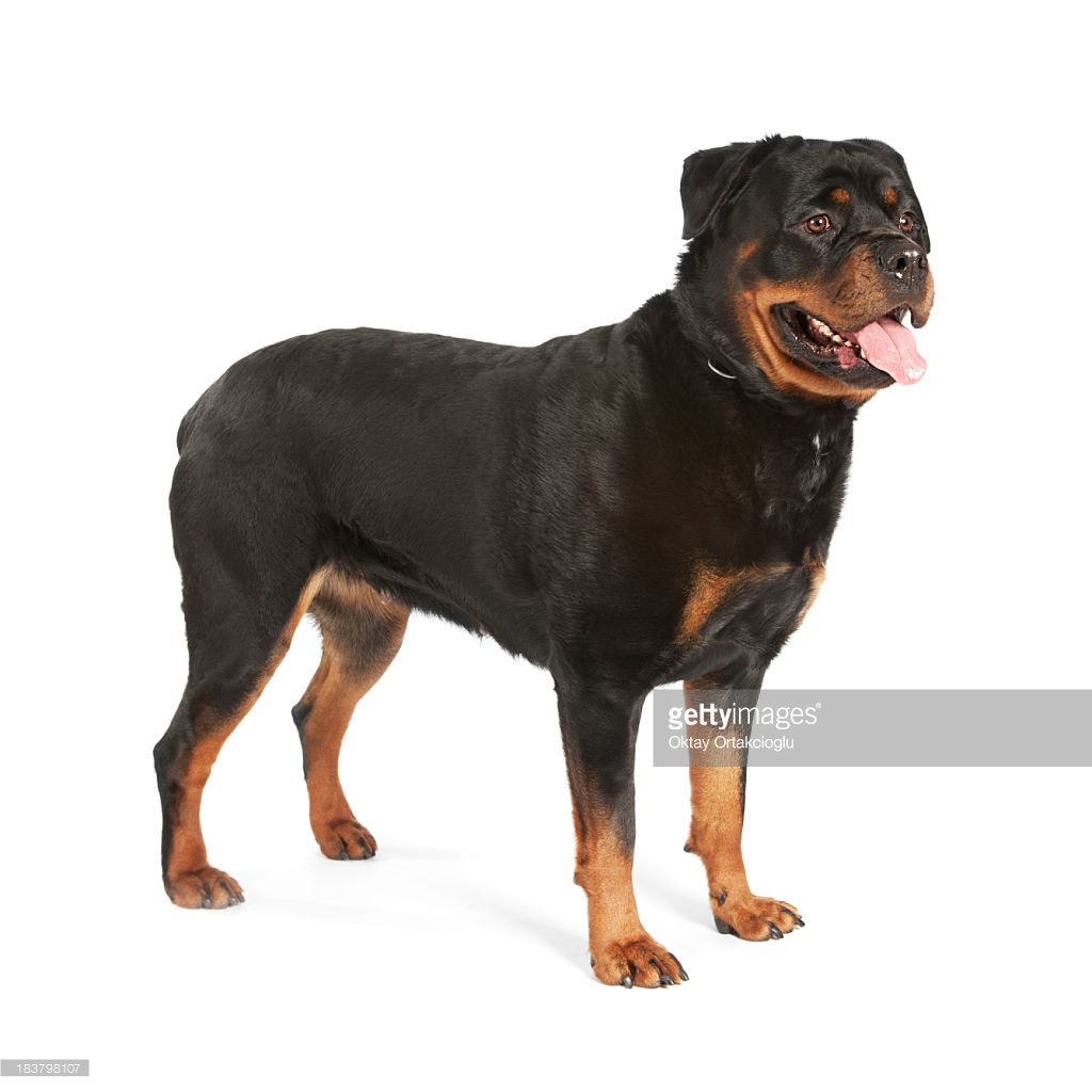 Cute Free Wallpapers For Cell Phones Rottweiler Images Hd Wallpapers Pulse