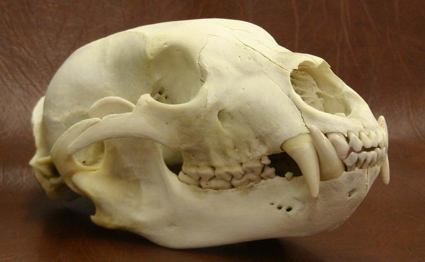 bear skull diagram pioneer deck wiring black pictures to pin on pinterest thepinsta
