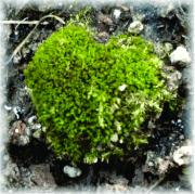 Heart-shaped moss