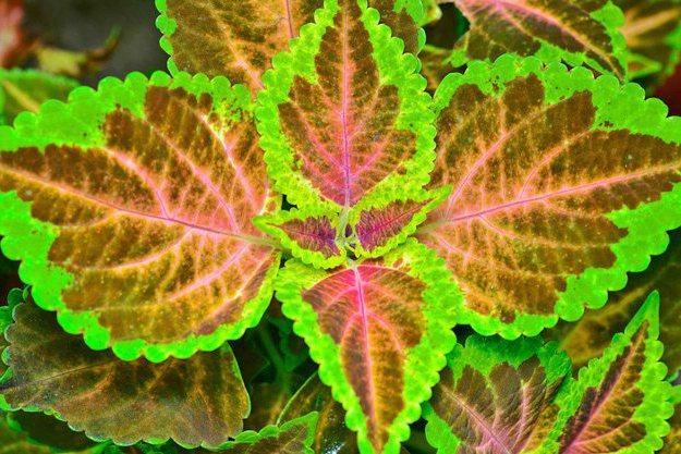 Coleus Forskohlii | Herbal Glaucoma Natural Remedies