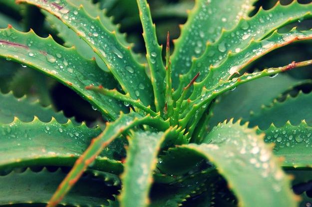 Aloe Vera | Burning Eyes Home Remedy | Natural Remedies