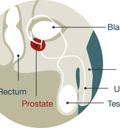diagram of male anatomy the prostate is located just below the bladder  [ 1285 x 1008 Pixel ]