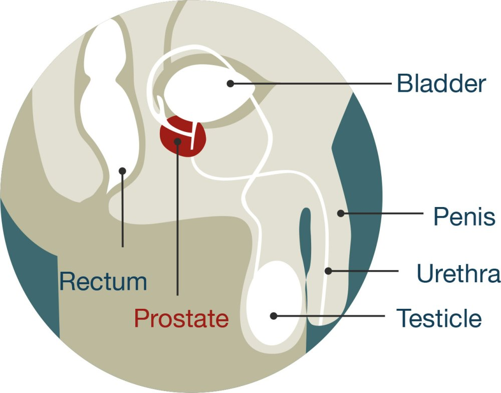medium resolution of diagram of male anatomy the prostate is located just below the bladder