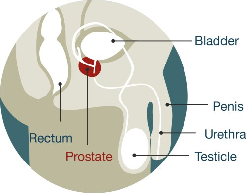 small resolution of diagram of male anatomy the prostate is located just below the bladder