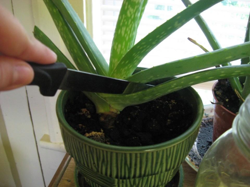 Harvest Aloe Vera Leaves
