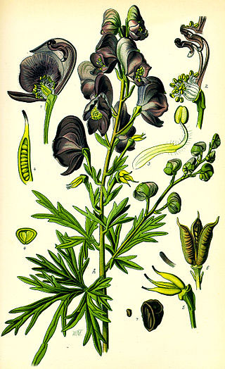 Aconite Facts And Health Benefits