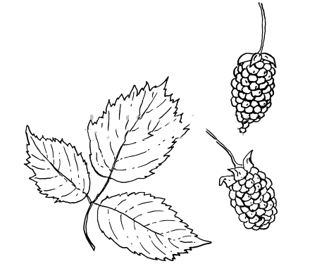 Loganberry facts and health benefits