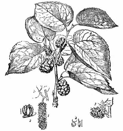 Mulberry Facts, Health Benefits and Nutritional Value