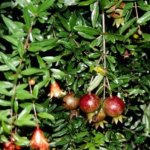 State Fair Pomegranate