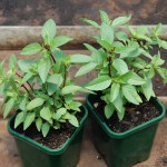 East Indian Basil