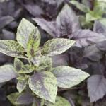 Osmin Purple Basil