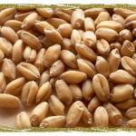 Hard White Winter Wheat