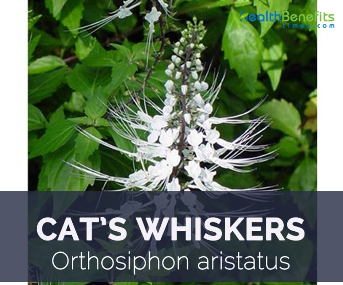 Cat's Whiskers facts and health benefits