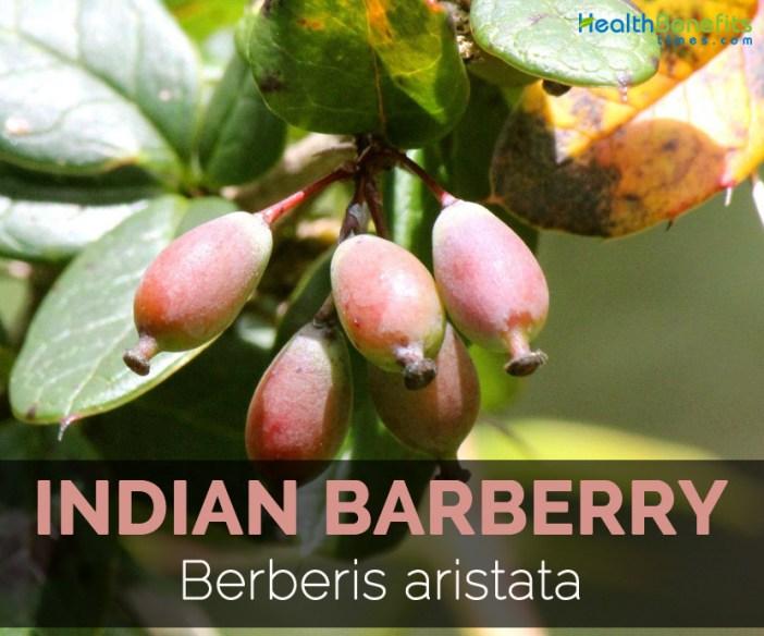 indian-barberry-berberis-aristata