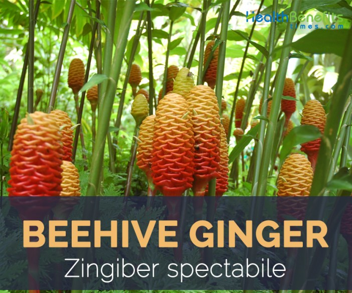 Beehive Ginger facts and health benefits