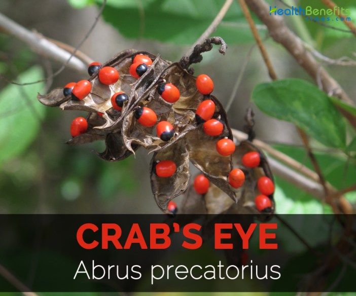 crabs-eye-abrus-precatorius