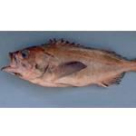 Bank Rockfish